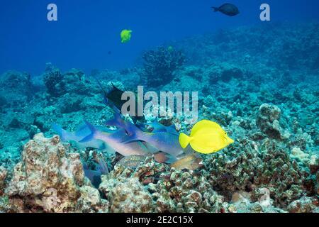 Jagd Koalition aus blauen Ziegenfisch, Blaufbuchsen und Moränen; Gelber tang schwimmt vorbei; Kona, Hawaii