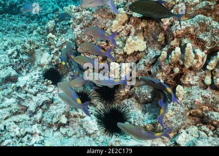 Jagd Koalition von blauen Goatfish, Blaufbuchsen und Weidemoränen Aal (kaum sichtbar innerhalb Korallen Kopf), Kona, Hawaii, USA, Pazifischer Ozean