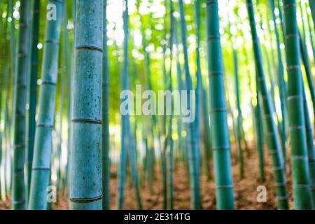 (Selektiver Fokus) atemberaubende Aussicht auf einen unscharfen Bambuswald an einem sonnigen Tag. Arashiyama Bamboo Grove, Kyoto, Japan. Natürlicher, grüner Hintergrund.