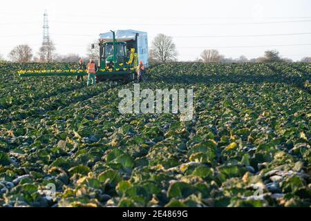 Arbeiter ernten savoy-Kohl bei TH Clements in der Nähe von Boston in Lincolnshire. Bilddatum: Freitag, 22. Januar 2021.