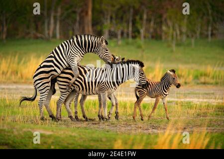 Zebra-Familie Paarung. Zebra Sonnenuntergang mit Bäumen. Ebene Zebra, Equus quagga, im grasbewachsenen Naturlebensraum, Abendlicht, Okavango Delta, Botswana in AFR