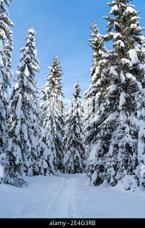 Romantischer Bergwanderweg durch Fichten, die mit Neuschnee bedeckt sind, an einem klaren, kalten, sonnigen Tag im Winter mit blauem Himmel. Stockfoto