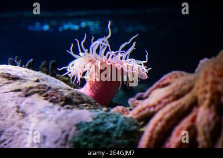 Nahaufnahme von den Seeanemonen (Actiniaria), maritimen, räuberischen Tieren von der Ordnung Actiniaria