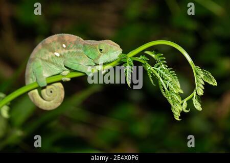 Buntes Chamäleon aus der Nähe im Regenwald Madagaskars.