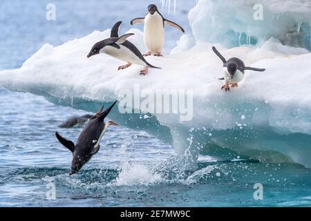 Adelie Pinguine tauchen begeistert von einem Eisberg ins Wasser In der Antarktis