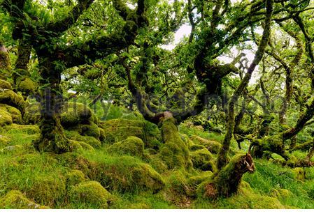 Eichen und Felsbrocken mit Moos und Flechten in bedeckt Wistman's Wood der abgelegene, hochgelegene Eichenwald am Dartmoor bei zwei Brücken in Devon England Großbritannien