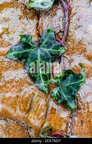 Efeu am Baumstamm - feuchte Hedera-Helix-Blätter - Efeublatt - Efeu Efeu - Blühende Pflanze Stockfoto