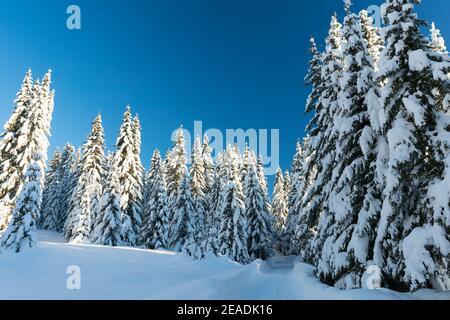 Fichte Nadelwald mit Schnee im Winter abgedeckt Stockfoto