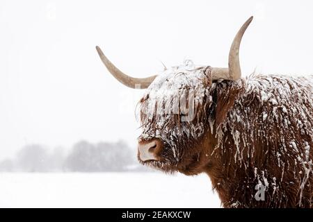 Schottische Hochlandkuh im Schnee. Nahaufnahme des Kopfes und der Hörner in einer Winterlandschaft.