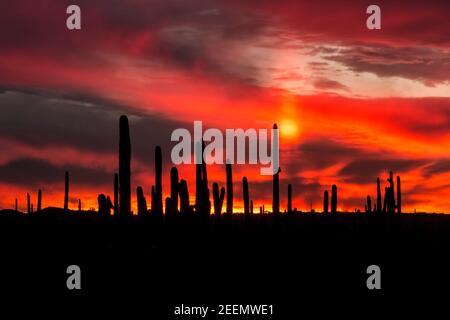 Ein Stand von Saguaro Kakteen, der vor einem feurigen Himmel im Saguaro National Park, Arizona, geschildet wurde - Stockfoto