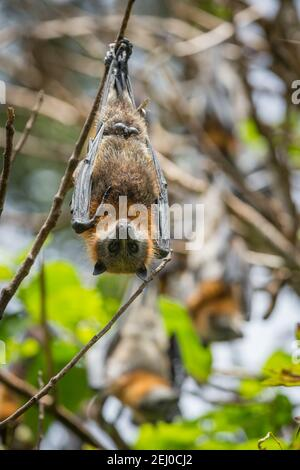 Grauer Flughund (Pteropus poliocephalus), Bellingen Island Reserve (bat Island), Bellingen, New South Wales, Australien.