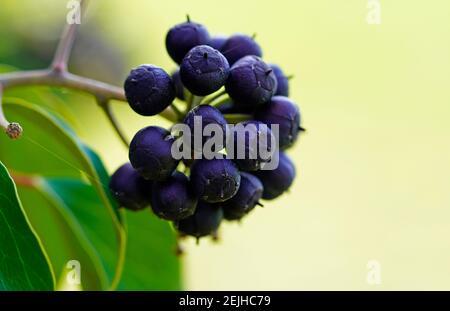 Giftige Efeu-Beeren. Früchte einer Efeu-Pflanze. Efeu, Hedera Helix. Nahaufnahme. Stockfoto
