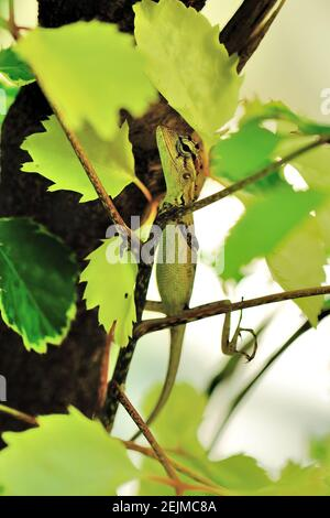 Green Crested Lizard, 'Bronchocela cristatella', Helengeli Island, Malediven