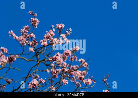 Hübsche rosa Kirschblüten Blüten auf Ast gegen tiefblauen Himmel. Frühlingsblüten des blühenden Sakura-Baumes in Irland