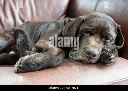 Erwachsene Schokolade Labrador schlafen auf einem Sofa