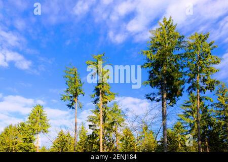 Nadelbäume im Wald
