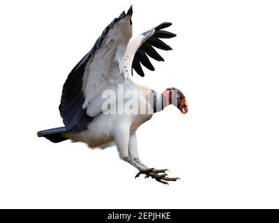 Isoliert auf weißem Hintergrund, fliegender Königsgeier, Sarcoramphus Papa, größter der New World Geier. Vogel mit ausgestreckten Flügeln, Vorbereitung auf la
