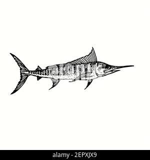 Atlantic Blue Marlin Makaira nigricans Seitenansicht. Tusche schwarz-weiß Doodle Zeichnung in Holzschnitt skizzieren Stil.