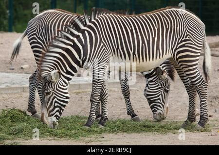 GREVY Zebra (Equus Grevyi), auch bekannt als die imperialen Zebra.