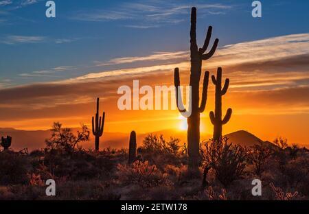 Landschaftsbild einer Gruppe von Saguaro Kaktus Silhouetten gegen Aufgehende Sonne in der Arizoan Wüste bei Phoenix