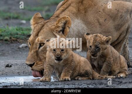 Eine Löwin (Panthera leo) mit ihren vier Wochen alten Jungen, Ndutu, Ngorongoro Conservation Area, Serengeti, Tansania, Ostafrika, Afrika