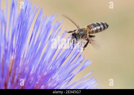 Honigbiene (APIs mellifera) auf Artischockenblume (Cynara scolymus), Jardin des Plantes, Paris, Frankreich
