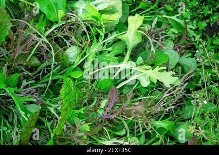 Verschiedene Salate-Salat-Salat-Salat mit grünem Senf im Garten des städtischen Gemüsegartens. Blumentopf aus hausgemachten Bio-Salatblättern Spe