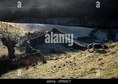 Herdwick Schafe zurück von der niedrigen Sonne auf einem beleuchtet Frostiger Wintermorgen in Little Langdale