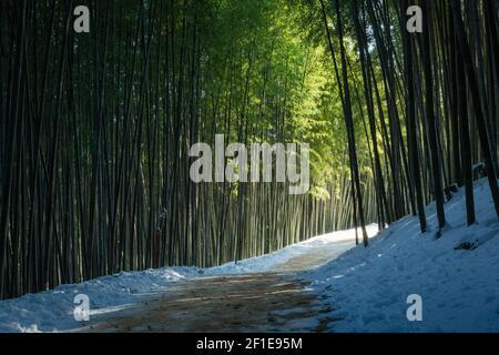 Ein geheimnisvoller Bambuswaldweg, der von Sonnenlicht beleuchtet wird, eine wunderschöne Winterlandschaft in Korea.