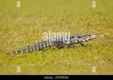 Wilde brasilianische Eidechse. Tegu im grünen Gras. Argentinische Schwarz-Weiß-Tegu, Tupinambis merianae, großes Reptil in der Natur Lebensraum, grün exotischen Tropen A