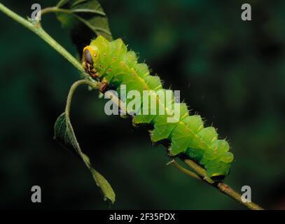 AMERICAN MOON MOTTE Larva ACTIAS luna (in Gefangenschaft gezüchtet), Credit:Robert Thompson / Avalon