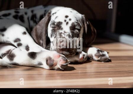 Schöner kleiner Hund mit geschlossenen Augen schläft auf dem Boden, dalmatinischer Welpenhund.Puppy schläft auf der Sonne. Haustier zu Hause.