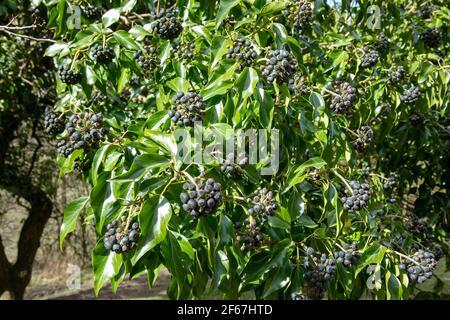 Grüne Blätter und schwarze Früchte von englischem Efeu, gewöhnlicher Efeu (Hedera Helix). Stockfoto