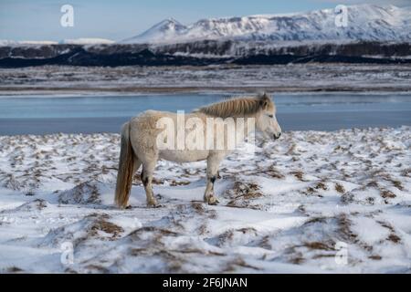 Islandpferde. Das isländische Pferd ist eine in Island geschaffene Pferderasse