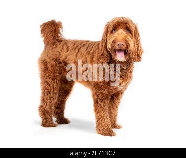 Isolierter Labradoodle-Hund, der seitlich mit offenem Mund und ausgestreckter Zunge steht. Mittelgroße bis große weibliche Erwachsene Hund, der die Kamera anschaut. Glücklicher oder aufgeregter Hund.