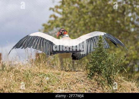 Frankreich, Maine-et-Loire, Doué-la-Fontaine, der Zoo bioparc, Königsgeier (Sarcoramphus Papa)