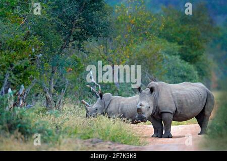 Rhino in Waldlebensraum. Zwei Weiße Nashorn, Ceratotherium simum, mit geschnittenen Hörnern, im Naturlebensraum Kruger Nationalpark. Afrika. Tierarten-Scen