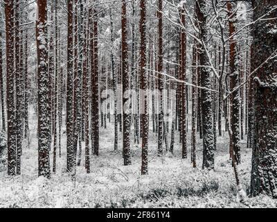 Straße Zwischen Schneebedeckten Bäumen Im Winterwald. Landschaft. Schöner Wintermorgen in EINEM schneebedeckten Pinienwald. Januar in einem dichten Wald saisonalen Blick. Bild für Hintergrundbild