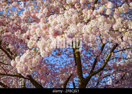 Ein Baum aus rosa Kirschblüten bildet einen zarten Bogen über Stamm und Ästen. Der Himmel ist tiefblau an einem perfekten Frühlingsmorgen