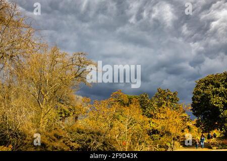 Dramatischer Himmel mit grauen Sturmwolken über Frost beschädigte Magnolienbäume in RHS Garden, Wisley, Surrey, Südostengland im Frühjahr vor heftigem Regen