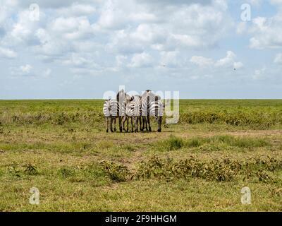 Serengeti-Nationalpark, Tansania, Afrika - 1. März 2020: Zebras paarweise am Straßenrand