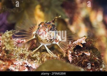 Nahaufnahme eines Makrofotos von Kelp Rockfish Juvenile (Sebastes atrovirens). Monterey Bay, Kalifornien