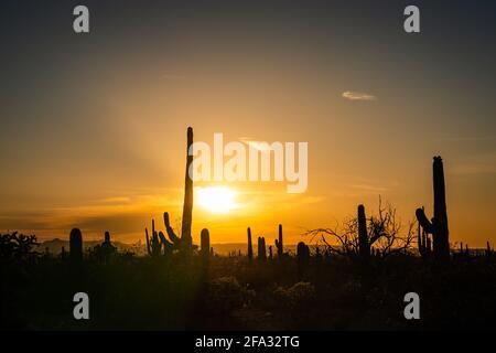 Der Saguaro Kaktus wurde gegen den Sonnenuntergang silhouettiert