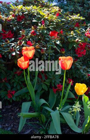 Rote und gelbe Aprilblüten-Tulpen
