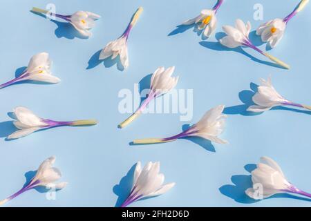 Weiße Krokusblüten auf hellblauem Hintergrund. Flaches, weiches, florales Muster mit natürlichem Layout im Frühfrühling.