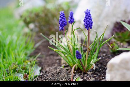 Nahaufnahme des Blauen Muscari Armeniacum oder des armenischen Traubenhyazinthorns, der im Garten zu Beginn der Frühjahrssaison aus dem Boden wächst.