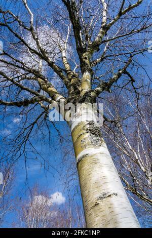 Betula utilis Baum im Winter mit einem blauen Himmel, der allgemein als Himalaya Birke bekannt ist und eine weiße Rinde hat, Stock Foto Bild