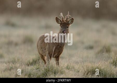 Das Reh, auch als Reh, westliches Reh oder europäisches Reh bekannt, ist eine Hirschart. Das Männchen der Art wird als Roebuck bezeichnet.