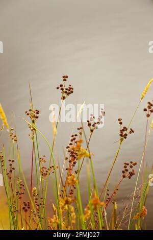 Feuchtgebiete Pflanzen Samen Köpfe im Sommer neben einem Teich mit verschwommenen Himmel Reflexionen im Hintergrund.
