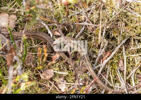 Paarungsverhalten bei gemeinsamen (viviparösen) Eidechsen (Zootoca vivipara). Männliches Tier, das das Weibchen im Mai im Mund hält, Surrey Heathland, Großbritannien